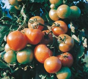 tomaquets16