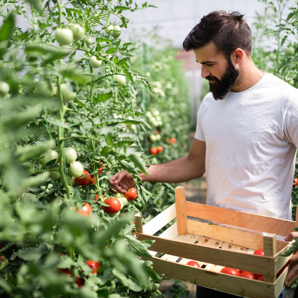 tomates-invernadero