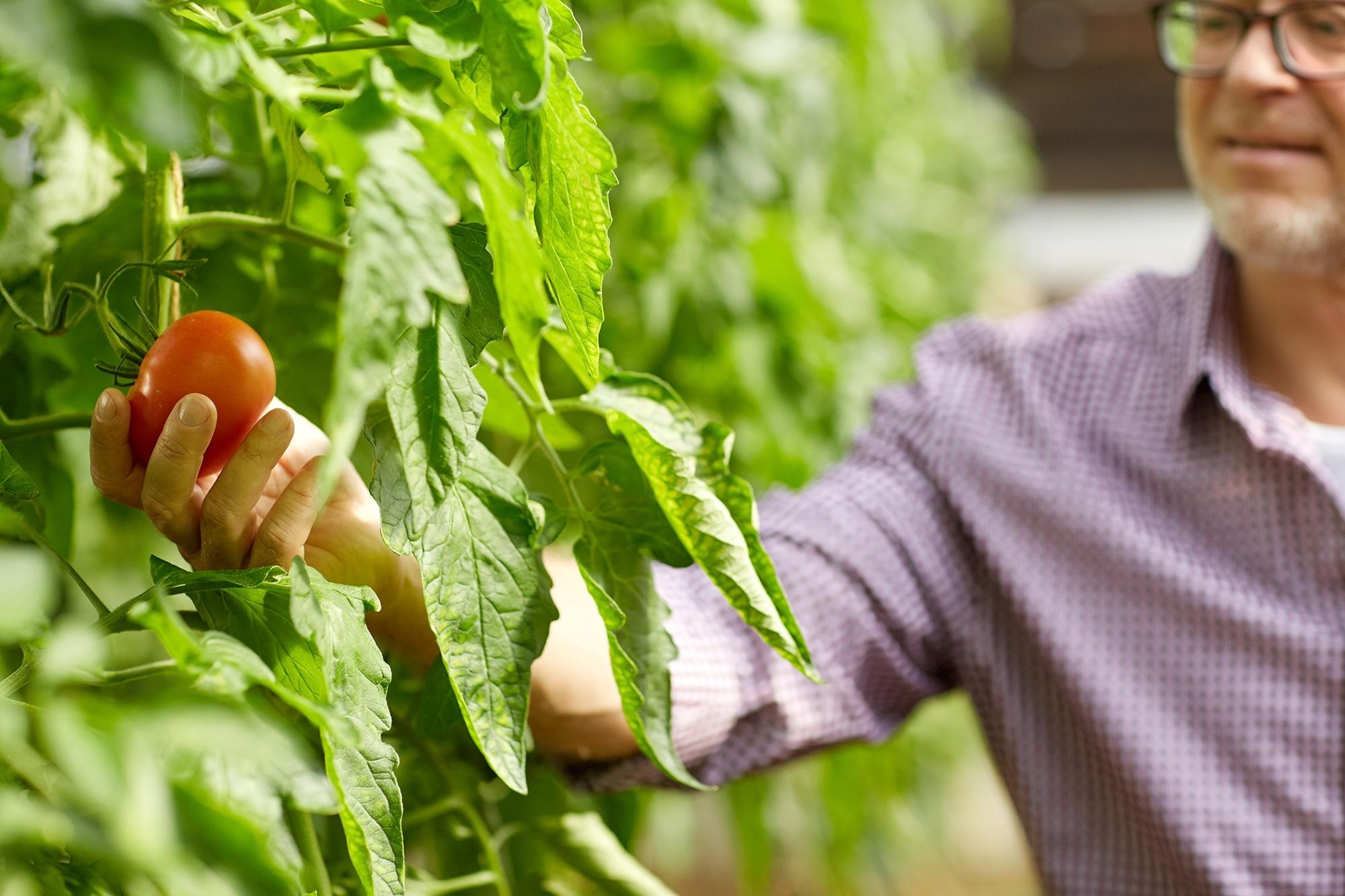 dipel-tomate